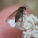 Slender Beefly