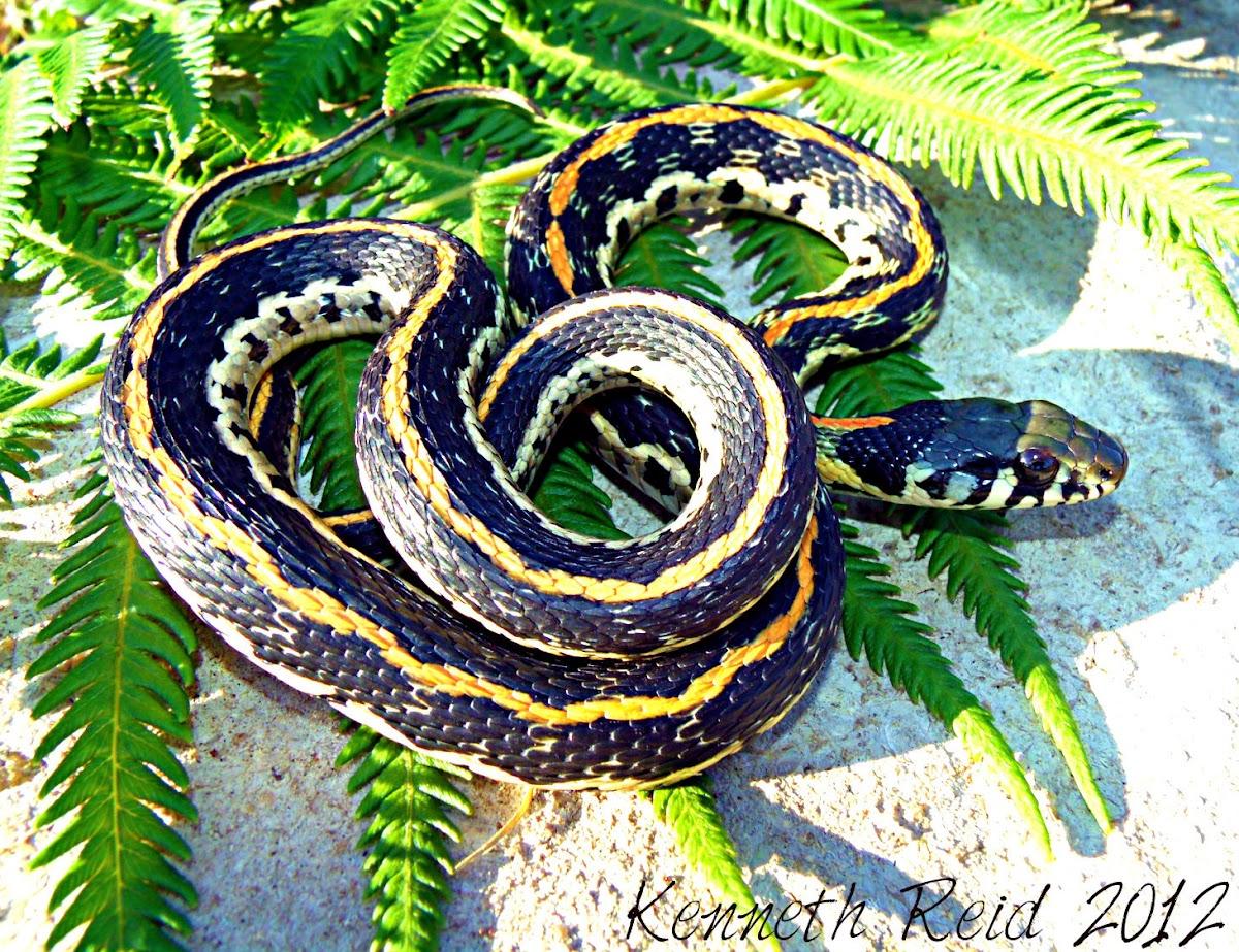 Eastern Blackneck Garter Snake | Project Noah