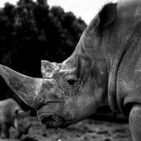 Rhino by Cristobal Garciaferro Rubio - Black & White Animals ( mexico, male rhino, rhino )