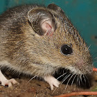 Mouse species ...