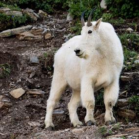 Billy Goat Gruff by Denver Pratt - Animals Other (  )