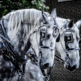 by Christine May - Animals Horses ( two horses, parade, animals, horses, horse )