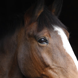 Wistful Horse by Steve Cowling - Animals Horses ( steve cowling, horse head, horse profile, horse wally., laris farm )