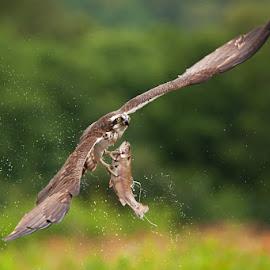 Osprey by Martin Procházka - Animals Birds ( flying, animals, fishing, birds, animal )