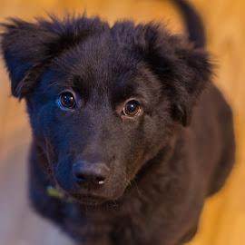 Puppy Ready by Sean Heatley - Animals - Dogs Puppies ( canine, face, animals, loki, puppy, dog, black )