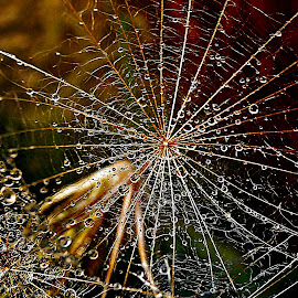 Splendor of the Seeds Net by Marija Jilek - Nature Up Close Other plants ( nature, goat-beard, drops, plants, seeds, stem, net )