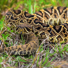 Mind Your Business by Mark Ayers-Stebenne - Animals Reptiles ( snake, rattler, nature, florida, venomous, tropical,  )