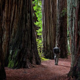 Jedediah Smith Redwoods by Marco Dennis - Landscapes Forests ( northern, park, jedediah, california, smith, trees, redwood, coast, grove )