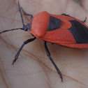 Red Pumpkin Bug / Cucurbit Stink Bug