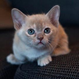 TribeChristal´s Sirona of Stars by Krista Nurmi - Animals - Cats Kittens
