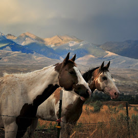 Horses by Mike Despot - Animals Horses ( challis, mountains, despotphotos.com, horses, nikon, blind )
