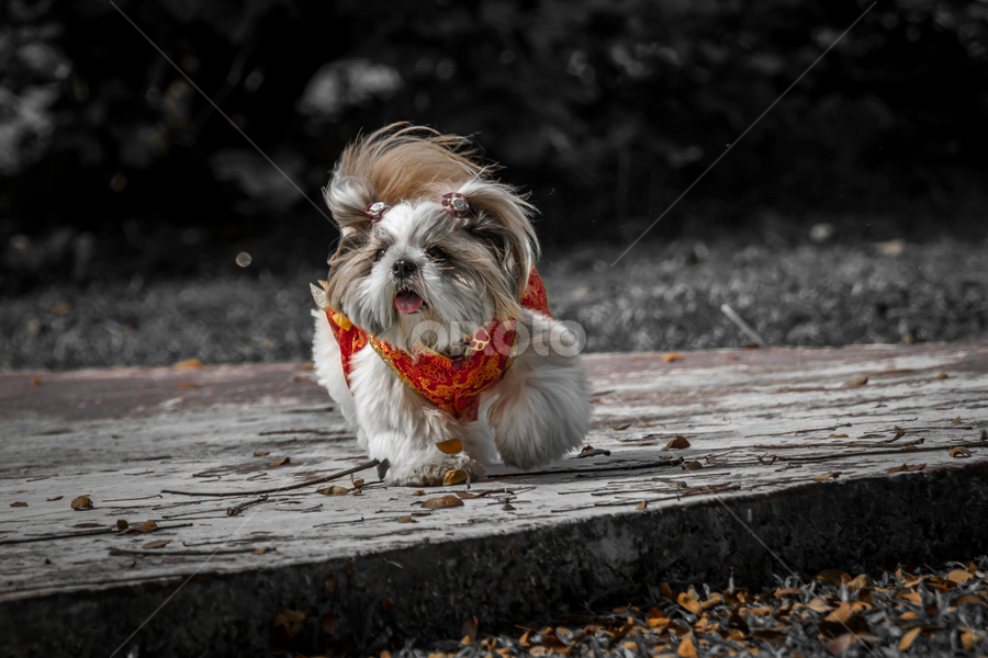 VINNY IN CHINESE TRADISONAL DRESS by Andy Teoh - Animals - Dogs Portraits ( vinny, portraits, dogs, animal, andyteoh photography )