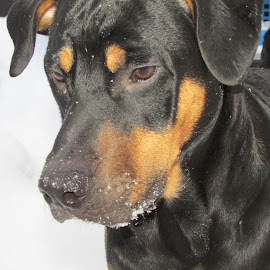 Bruin by Tammy Black - Animals - Dogs Portraits