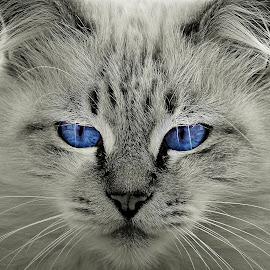 Hypnotic. by Miguel Silva - Animals - Cats Portraits ( cat, miguel silva, blue eyes, viseu, portugal, hypnotic, portrait, animal )