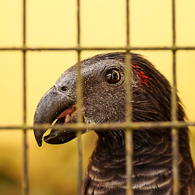 Caged life (portrait of Black Parrot ) by Samaneethi Krishnan - Animals Birds ( zoo, black parrot, bird park,  )