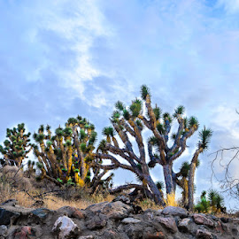 Joshua Trees by Leslie Nu - Landscapes Deserts ( clouds, cedar pocket, az, desert, joshua trees, cloudscapes, landscapes, rocks )