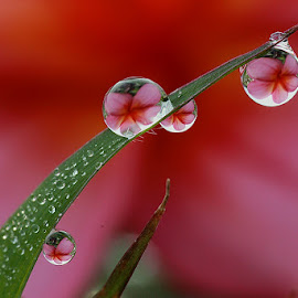 :: RED :: by Dedy Haryanto - Nature Up Close Natural Waterdrops