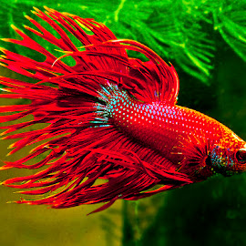 Swimming betta by David Winchester - Animals Fish