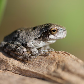 by Forrest Covin - Animals Amphibians ( macro, species, frog, amphibian,  )