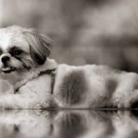 Smile Cheeze by Ferdinand Ludo - Animals - Dogs Portraits ( pose, full, shitzu, cheese, noon break )