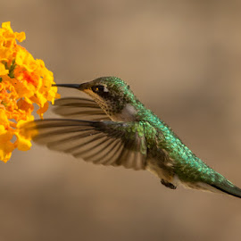 Ruby-throated hummingbird and lantata by Jorgen Hog - Animals Birds ( ruby-throated hummingbird, lantana )