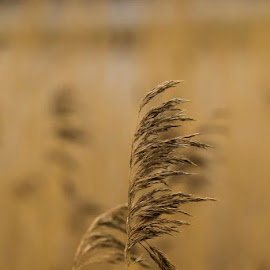 By the water by Nicklas Sjoberg - Nature Up Close Other plants ( vass, plant, water, autumn, brown, spring )