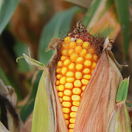 Ready for harvest by April Grunwald - Nature Up Close Gardens & Produce ( fall, stalk, farmland, harvest, corn )