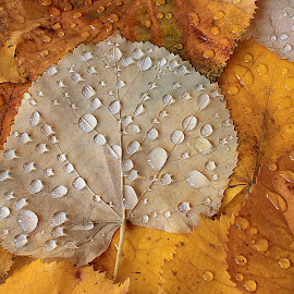 Autumn leaves by Besnik Hamiti - Nature Up Close Leaves & Grasses ( autumn, kosovo, drops, yellow, leaves, rain )
