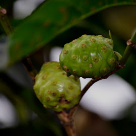 Noni The Medical Fruits by Wa Wicaksono - Food & Drink Fruits & Vegetables ( medical, indonesia, fruits, herbal, noni,  )
