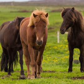 Friends by Benedikt Svavarsson - Animals Horses ( animals, iceland, nature, horses, green, three )