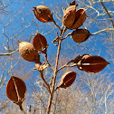 Hickory (empty nut husks)