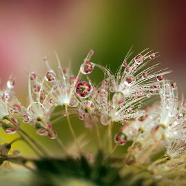In the Garden by Lynne McClure - Nature Up Close Other plants ( water, water drops, lily, dandelion, macro photography, seed, nature up close )