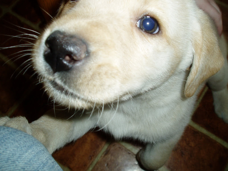 puppy lab tries to lick camera