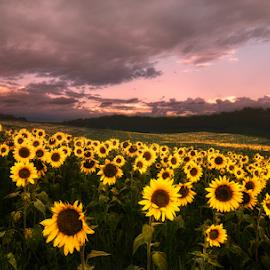 Sunflower gerden by Sushmita Sadhukhan - Landscapes Prairies, Meadows & Fields ( field, sunset, sunflower, meadows, garden )