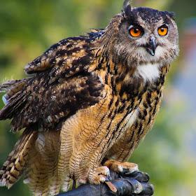 spectacled owl for pixoto (1 of 1).jpg