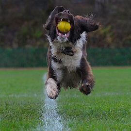 ON THE BALL by Michael Sweeney - Animals - Dogs Playing ( pace, nikond3dog, freedom, archie, fast dog, free, d3, action, 70mm, light, move, 2014, grass, charging, professional, glasgow green, jump, emotion, canine, december, 9fps, dogphotographer, shoot, f3.5, fast, runing, go, natural light, scotland, jumping, nikon d3, quick, runningdog, line, michael m sweeney, spining, pwc76, run, united kingdom, photography, liberty, adorable dogs, animals in motion, best, nikon, sweeney, uk, ball, park, spaniel, male, star, daily, flight, joyful, great, animal kingdom, springer spaniel, great britain, michael, pet, glasgow, pro, zoology, runner, dog )