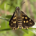 Spotted Sedge-skipper