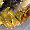 Wakame (sea mustard)