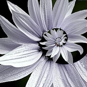 bijeli  pixotodroste.jpg