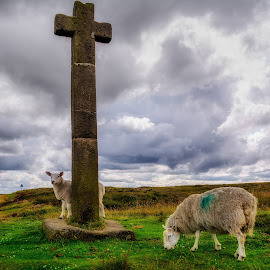 by Martin Tyson - Animals Other Mammals ( north yorkshire moors, farm, animals, yorkshire, moors, land, stone, sheep, north, landscape, cross )