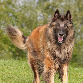 Enjoying life by Mia Ikonen - Animals - Dogs Running ( belgian shepherd tervueren, happy, beautiful, finland, active )