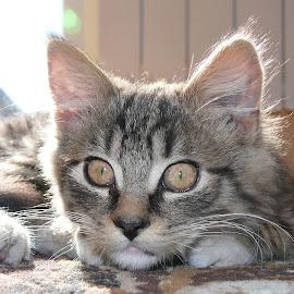 by Krzysztof Krasuski - Animals - Cats Kittens (  )