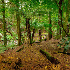 Beeches Forest by Peter Nguyen - Landscapes Forests ( green, otway, victoria, forest, beech,  )