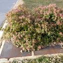 Winter flowering bush/shrub