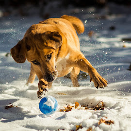 by Michael Last - Animals - Dogs Playing