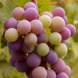 Napa Valley Grapes by Brent Dreyer - Food & Drink Alcohol & Drinks ( wine, fruit, nature, grapes, wine grapes,  )