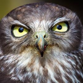 Barking Owl by Gary Beresford - Animals Birds ( stare, lamington, australia, owl, prey, feathers, barking owl, eyes )