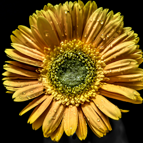 sun flower by Mohammed Arief - Flowers Single Flower (  )