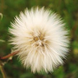 Furry Weed by Janet Herman - Nature Up Close Other plants ( plant, nature, autumn, furry, seed, weed )