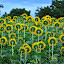 Who Goes there? by Akash Kumar - Novices Only Flowers & Plants ( green, sun flower, humor, yellow, flowers )